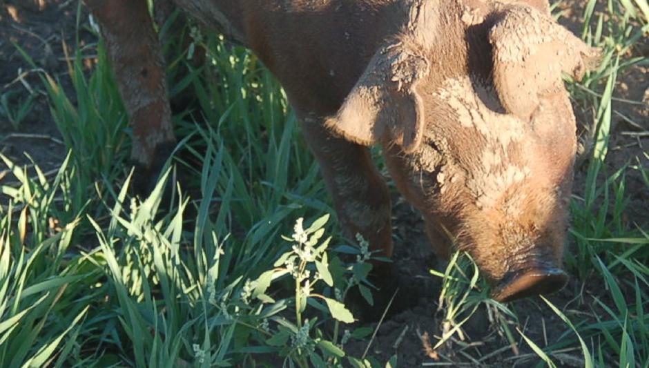 Pig eats grass