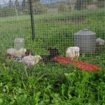 First day on pasture for three week old chicks