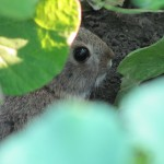 Cottontail in the Squash